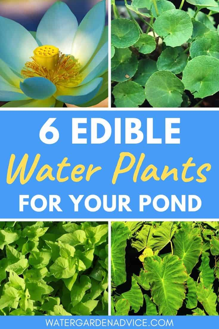 Edible water plants for your pond