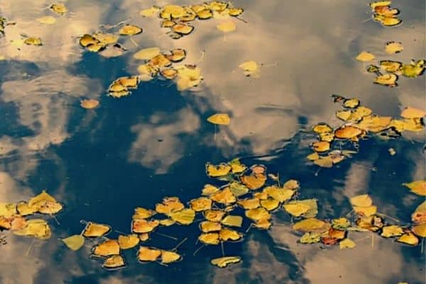Leaves in garden pond