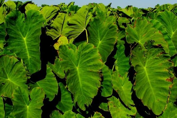 Taro water plants