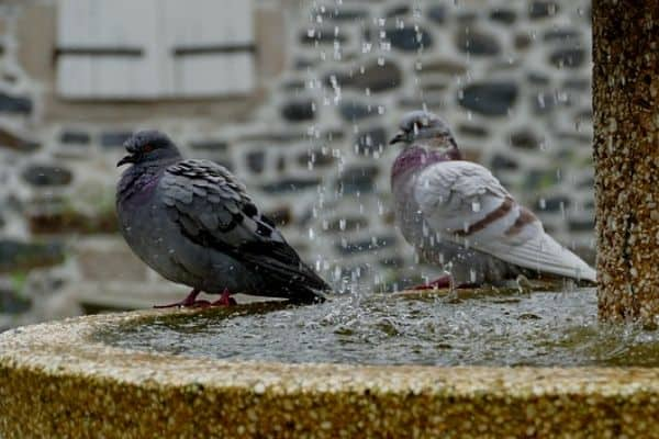 Birds in a water fountain