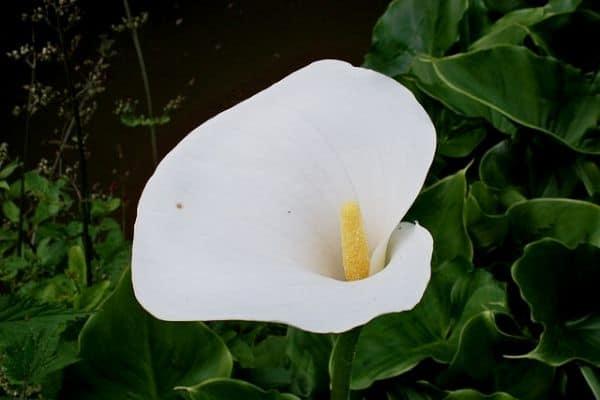 Pond flower plant