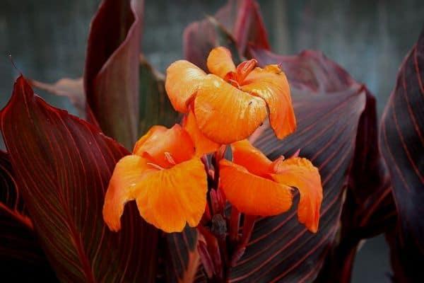 Canna lily pond plant