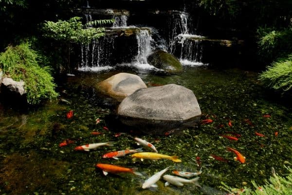 Pond waterfall with fish
