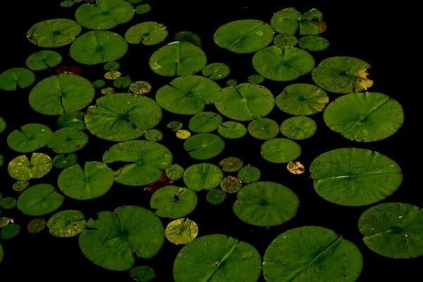 Shady pond plants