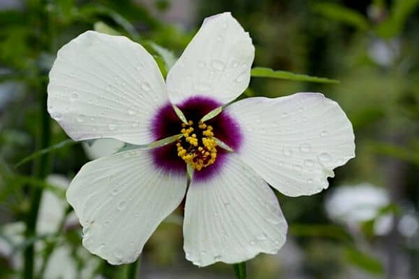 Water hibiscus flower