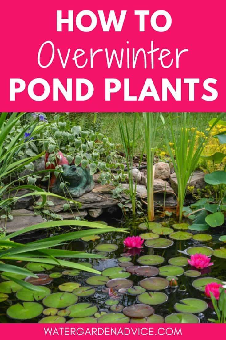 winterize pond plants