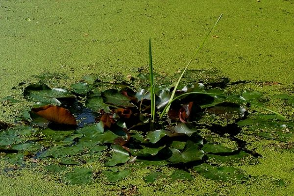 duck weed in pond