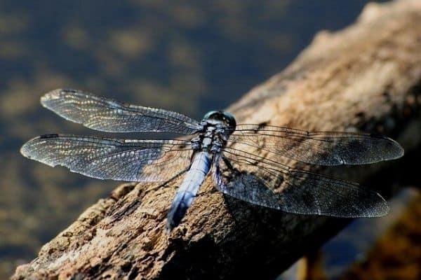 dragonfly on pond log