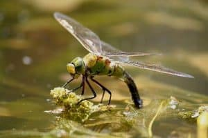 Benefits Of Dragonflies For Ponds