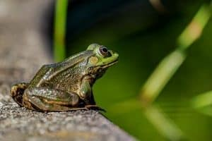 How To Attract Frogs To Your Pond