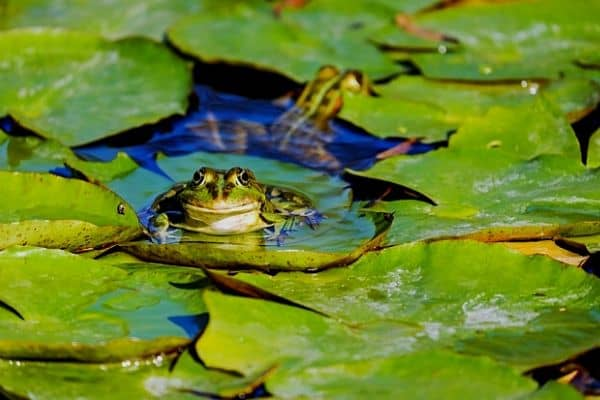 Two frogs in a backyard pond