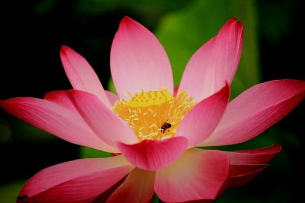 Growing lotus flowers
