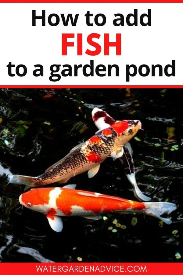 Adding fish to a backyard pond