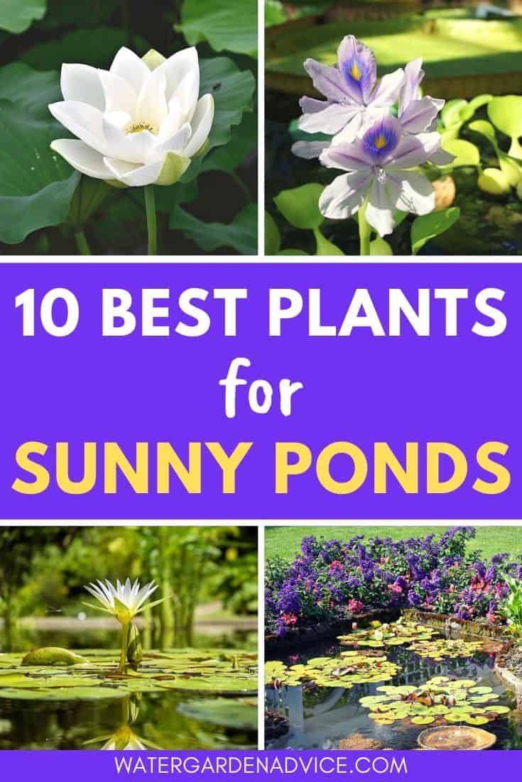 Best pond plants for sunny ponds