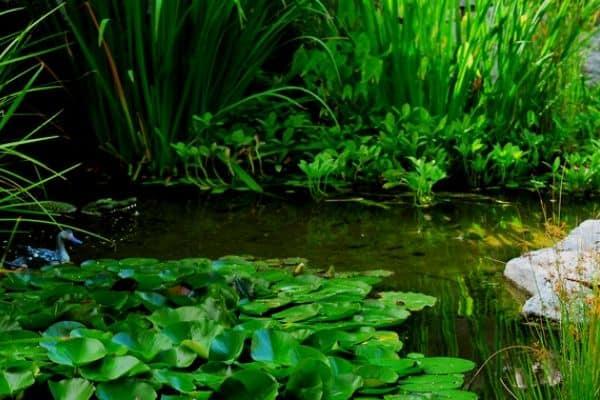 murky green pond