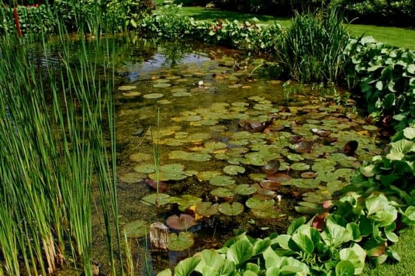 pond edging plants