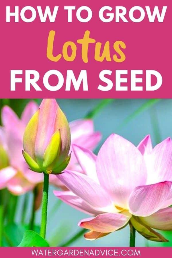 growing lotus seeds