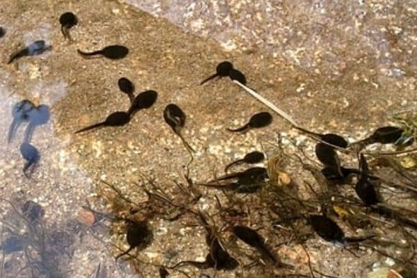 Read more about the article How To Add Tadpoles To Your Pond