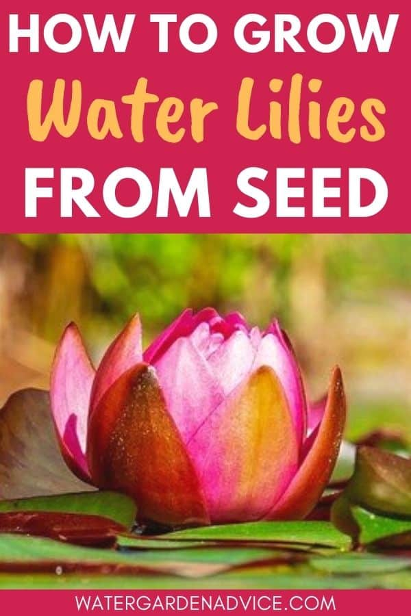 planting water lily seeds